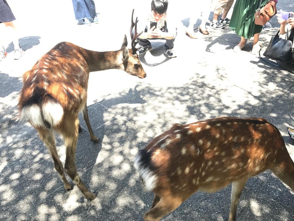 Deer on Miyakima, Hiroshima Japan © Rosie Pentreath